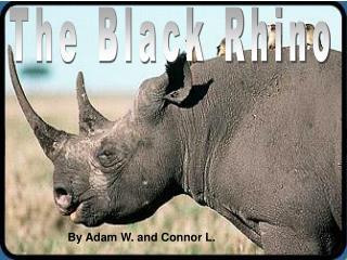 The Black Rhino