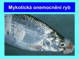 Mykotická onemocnění ryb