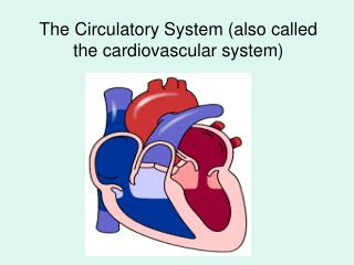 The Circulatory System (also called the cardiovascular system)
