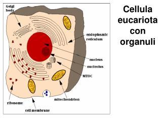 Cellula eucariota con organuli