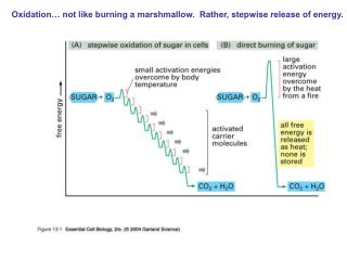 Oxidation� not like burning a marshmallow.  Rather, stepwise release of energy.