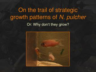 On the trail of strategic  growth patterns of  N. pulcher