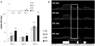 mRNA HKT/  RpII