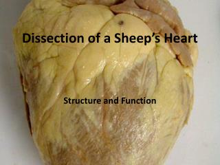 Dissection of a Sheep's Heart