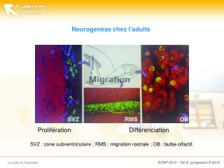Neurogenèse  chez l'adulte