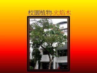 校園植物 - 火焰木
