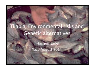 Tilapia, Environmental risks and Genetic alternatives