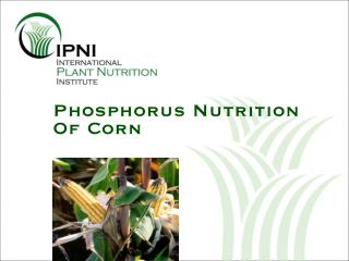 Phosphorus Nutrition Of Corn