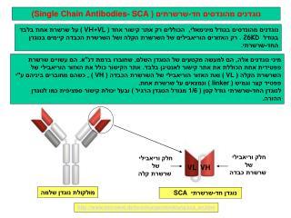 נוגדנים מהונדסים חד-שרשרתים (  Single Chain Antibodies- SCA )