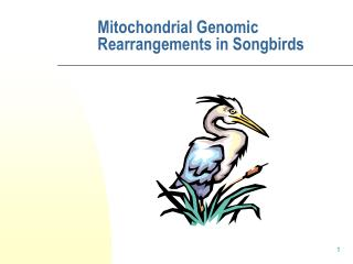 Mitochondrial Genomic Rearrangements in Songbirds