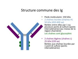 Structure commune des Ig