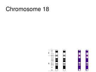Chromosome 18