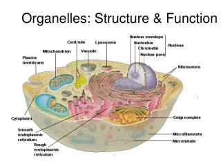 Organelles: Structure & Function