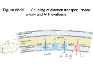 Figure 22-29 	Coupling of electron transport ( green arrow ) and ATP synthesis.