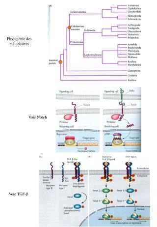 Phylogénie des métazoaires
