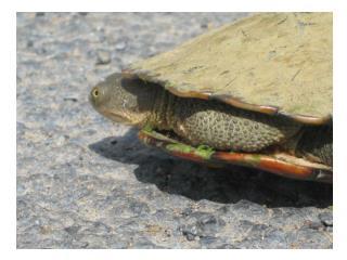aquaticlife.angfaqld.au/Turtles.htm