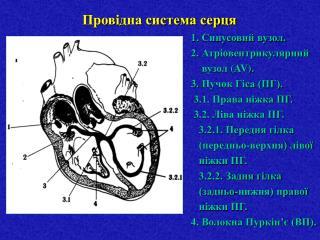 Провідна система серця