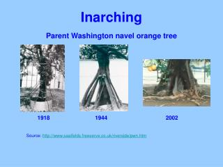 Inarching Parent Washington navel orange tree