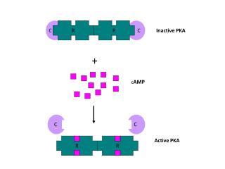 Inactive PKA