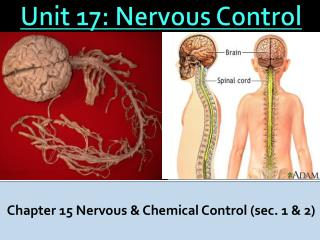 Unit  17:  Nervous Control