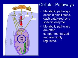 Cellular Pathways