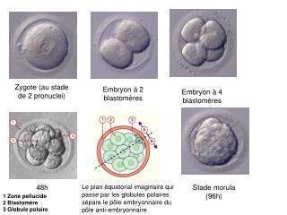 Zygote (au stade de 2 pronuclei)