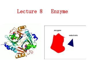 Lecture 8   Enzyme