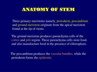 The ground meristem produces parenchyma cells of the