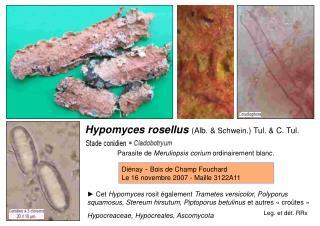 Hypomyces rosellus  (Alb. &  Schwein .) Tul. & C. Tul.