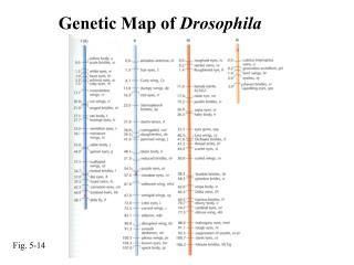 Genetic Map of  Drosophila