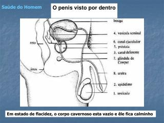 O penis visto por dentro