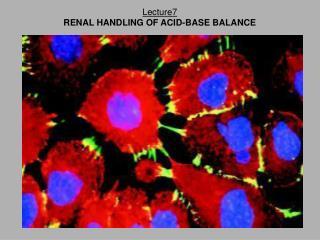 Lecture7 RENAL HANDLING OF ACID-BASE BALANCE