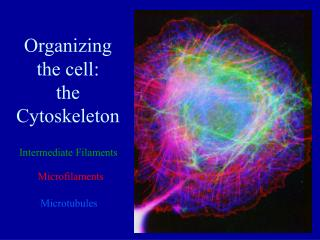 Organizing the cell:  the Cytoskeleton
