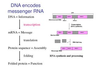 DNA encodes messenger RNA