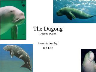 The Dugong Dugong Dugon