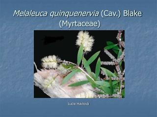 Melaleuca quinquenervia  (Cav.) Blake   (Myrtaceae)