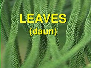 LEAVES ( daun )