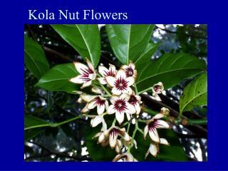 Kola Nut Flowers