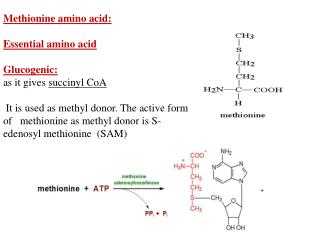 Methionine amino acid: Essential amino acid Glucogenic:  as it gives  succinyl CoA