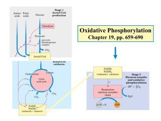 Oxidative Phosphorylation Chapter 19, pp. 659-690