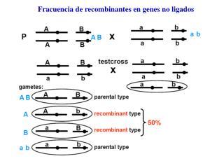 Fracuencia de recombinantes en genes no ligados