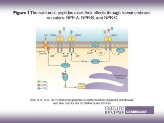 Zois, N. E.  et al.  (2014)  Natriuretic peptides in cardiometabolic regulation and disease