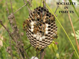 SOCIALITY IN  INSECTS