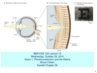 BBE/CNS 150 Lecture 13      Wednesday, October 29, 2014 Vision 1: Phototransduction and the Retina