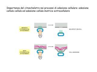 Tre meccanismi di adesione cellula-cellula