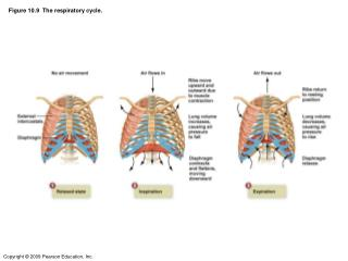 Figure 10.9  The respiratory cycle.