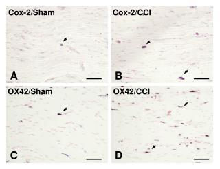 Cox-2/Sham