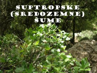 SUPTROPSKE (SREDOZEMNE) ŠUME
