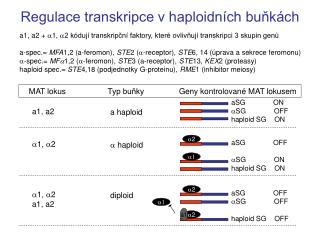 Regulace transkripce v haploidních buňkách