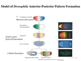 Model of  Drosophila  Anterior-Posterior Pattern Formation